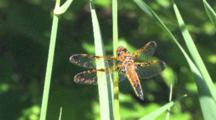 Dragonfly, Painted Skimmer, Male