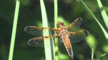 Dragonfly, Painted Skimmer Male, Hunting, Wings In Sunlight