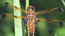 Dragonfly, Painted Skimmer Male, Wings In Sunlight