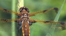 Dragonfly, Painted Skimmer Male, Wings Glistening In Sun, Zoom To Cu