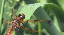 Dragonfly, Painted Skimmer Male, Resting On Grass Blade With Dew Drops