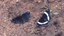 White Admiral Butterflies, Feeding, Fanning Wings