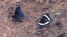 White Admiral Butterflies, Feeding In Wet Sand, Fanning Wings In Succession