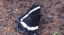 White Admiral Butterfly, Feeding On Ground, Side View
