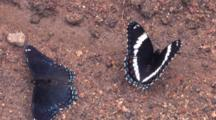 White Admiral Butterflies, Back To Back, Feeding On Ground, Turning