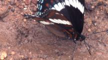 White Admiral Butterfly, Searching Wet Sand For Moisture, Ant Passes