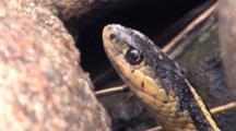 Eastern Garter Snake, Motionless By Rock Face
