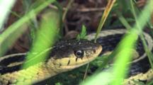 Eastern Garter Snake, Quietly Hiding In Grass