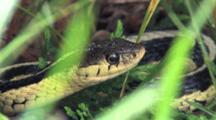 Eastern Garter Snake, Hiding In Grass
