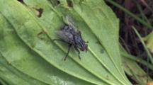 Flesh Fly On Leaf, Turns