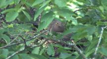 Tree With Mourning Dove Pair Building Nest, Zoom To Mate Bringing Material To Other Bird On Nest