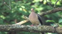 Tree Branch, Mourning Dove Enters, Bringing Material To Other Bird On Nest