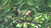 Mourning Dove On Nest In Tree, Mate Arrives With More Material, Nesting Bird Places