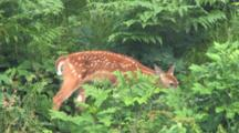 White-tailed Deer Fawn, Browsing , Moving Through Brush