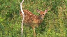 White-Tail Deer Fawn, Hiding, Browsing In Thick Brush