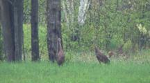 Pair Of Sandhill Cranes, Staring Intently Into Woods, Summer Wooded Habitat