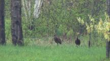 Sandhill Cranes, Leaving Wooded Area, Irritated Red-Winged Blackbird Escort, Summer Wooded Habitat