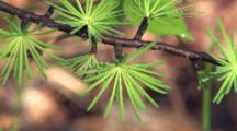 Tamarack Needles, Spring Green, Many Clusters Growing From Main Trunk, Boreal Forest