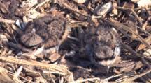 Two Killdeer Chicks In Nest, Resting, Camouflaged