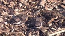 Two Killdeer Chicks In Nest, One Picks Up Head, Looks Around
