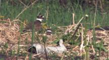 Killdeer Parent On Nest, Gets Up Walks Off, Chick Follows
