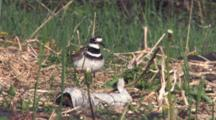 Killdeer Parent Enters, Stands Over Nest On Ground