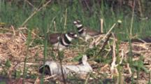 Killdeer Parent Enters, Stands Over Nest On Ground, Other Adult Enters, Exits