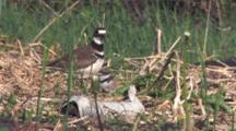 Killdeer Parent Stands Over Nest And Chick On Ground, Other Chick Enters, Runs Toward Camera