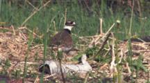 Killdeer Parent Stands Over Nest, Chick Enters, Ducks Under Parent