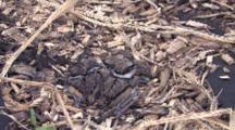 Four Killdeer Chicks In Nest, One Gets Up, Runs Off