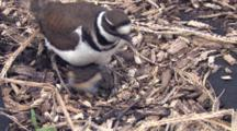Three Killdeer Chicks In Nest, One Gets Up, Runs Off, Parent Enters, Sits On Last Two In Nest
