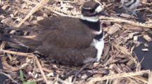 Killdeer Parent On Nest, Covering Chicks, Another Chick Enters, Scrambles Beneath Parent