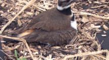 Killdeer Parent On Nest, Covering Chicks, Parent Stands Up, Runs Off, Leaves Chicks In Nest