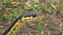 Eastern Garter Snake Head, Face, Tongue Flicks, Pulls Head Quickly Down Out Of Sight