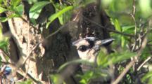 Nesting Blue Jay, Hidden In Tree Branches, Looking At Camera, Blinking