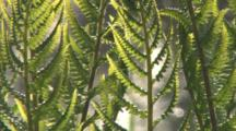 Lady Fern Fronds Swaying Gently, Blowing In Breeze, Water Flowing Behind