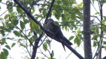 Common Nighthawk Asleep In Tree