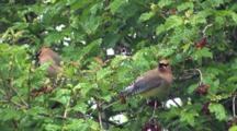 Two Cedar Waxwings Feeding On Highbush Cranberries, Both Exit