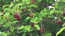 American High-Bush Cranberries, Spring Leaves And Flowers, Last Year's Berries Still On Bush