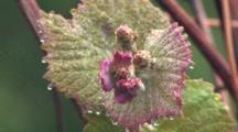 Grape Vine, Spring Grape Leaves, Dew On Leaves