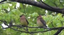 Cedar Waxwing Pair Sitting In Ash Tree, One Exits