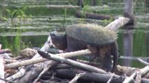 Snapping Turtle Sunning On Beaver Lodge, Moves Head