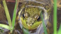 Green Frog Sitting, Hiding In Pond Water