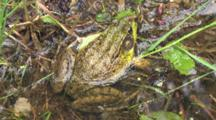 Green Frog Sitting In Water Along Shore Of Pond