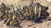 Eastern Tiger Swallowtail Butterflies, Congregating In Wet Sand