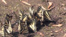 Tight Group Of Eastern Tiger Swallowtail Butterflies, Zoom To Cu Congregating In Wet Sand
