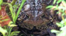 American Toad, Resting In Soil, Tucked Behind Grasses