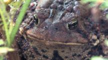 American Toad, Front View Of Head, Face, Both Eyes Blink