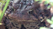 American Toad, Front View Of Head, Face, Beetle Crawls On Eye
