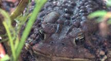 American Toad, Front View Of Head, Face